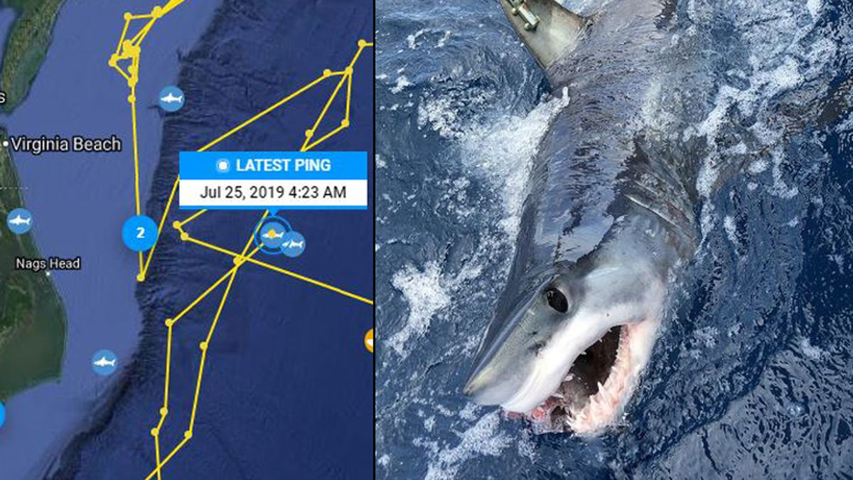 7 Foot Shark Tagged Near Texas Appears Near Outer Banks