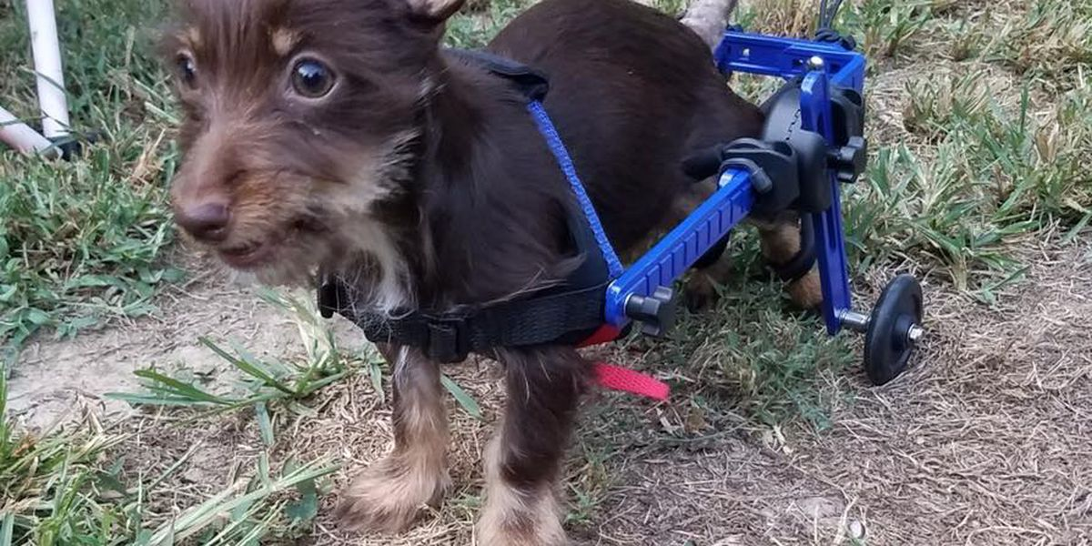 RACC accepts donations for paralyzed puppy's surgery
