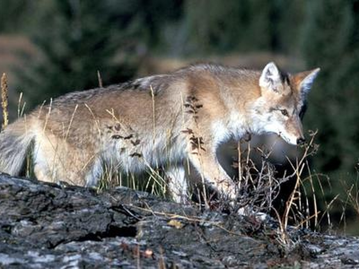 Dinwiddie officials kill possibly rabid coyote