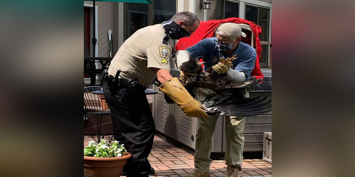 'Eagle Whisperer' with the Stafford Sheriff's Office helps release rescued eagles