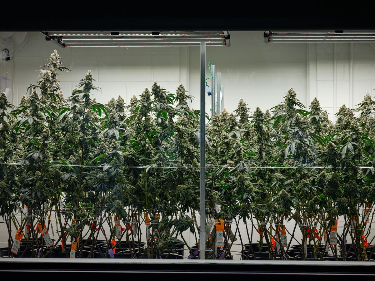 Marijuana manufacturers in Virginia preparing to increase production following legalization approval