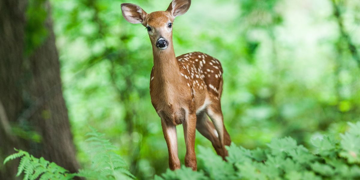 Virginia 12th nationally for collisions with deer