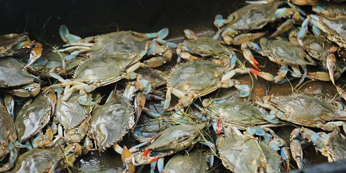 Chesapeake blue crab population declining, but not overfished