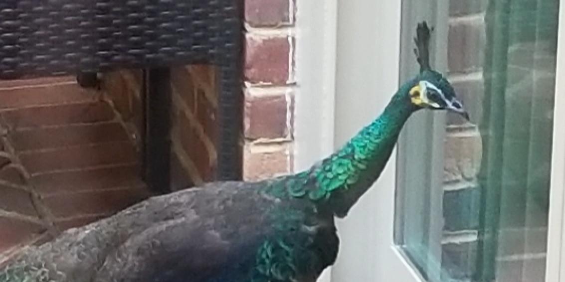 Peacock parades around Henrico neighborhood