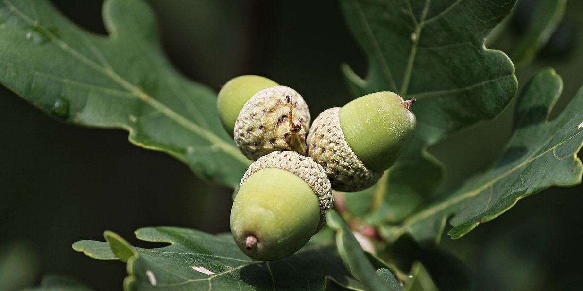 Virginia Dept. of Forestry asks residents to donate acorns, nuts