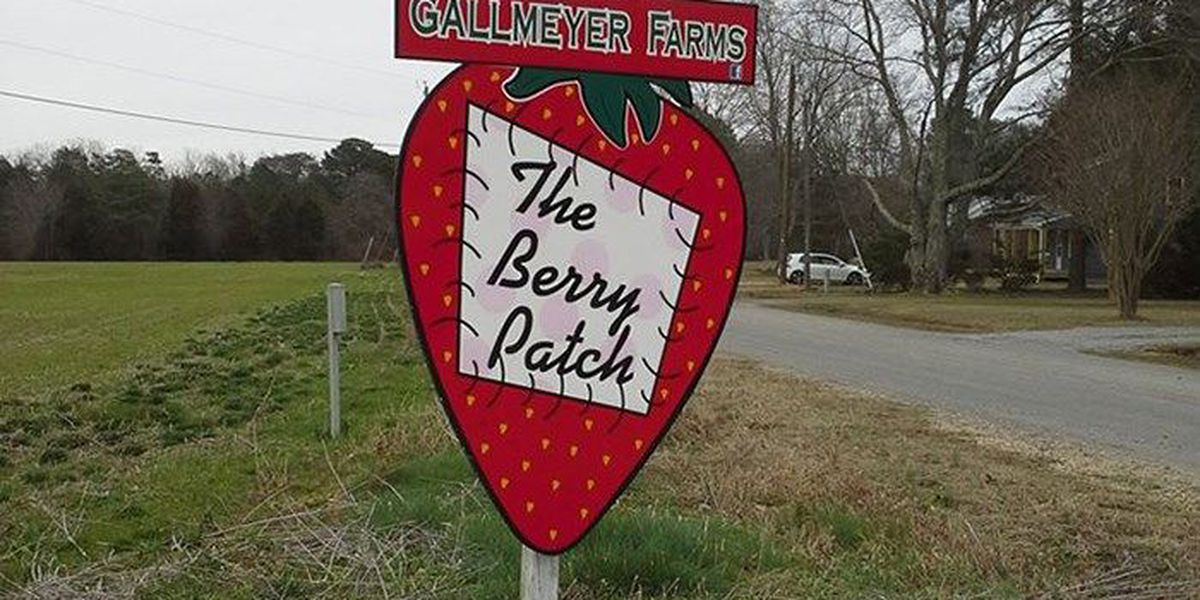 Strawberry farm announces closure due to heavy rain