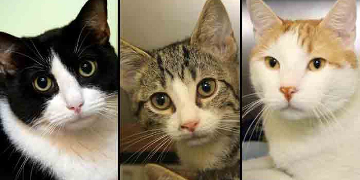 Richmond SPCA offering 2-for-1 cat adoptions