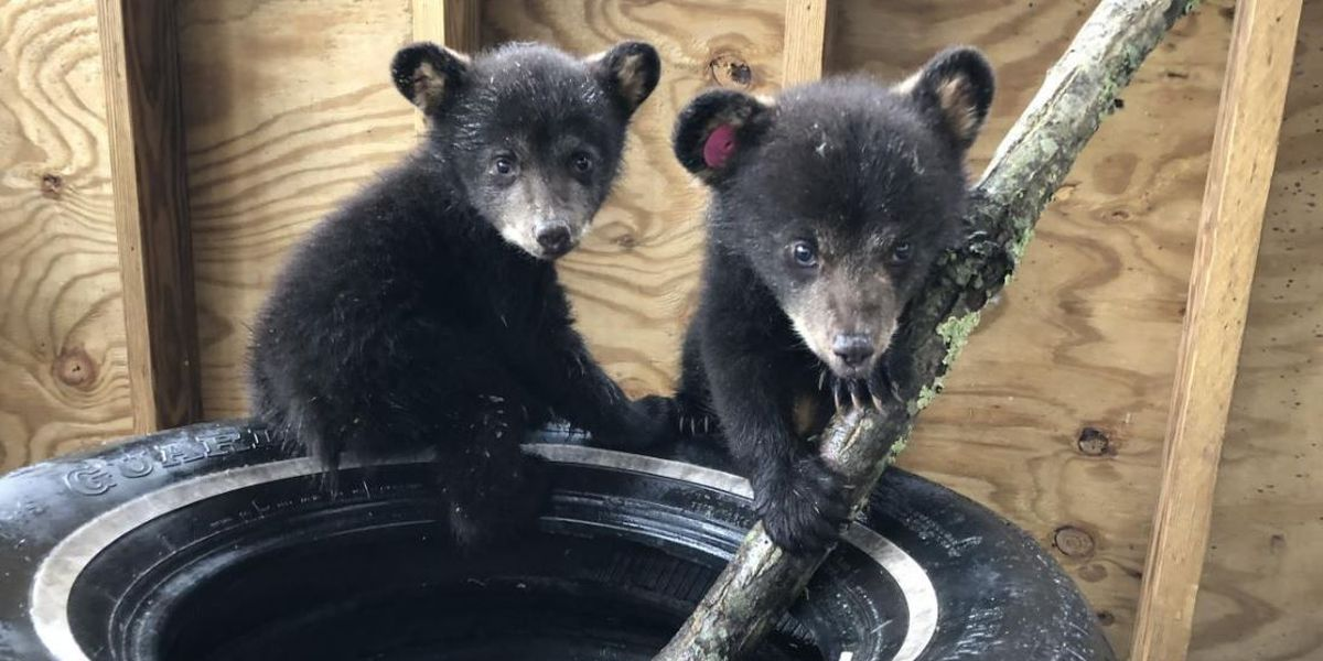 Webcam is broadcasting some of Virginia's orphaned bear cubs