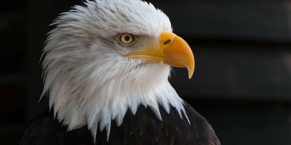 Has the bald eagle population along the James River peaked?