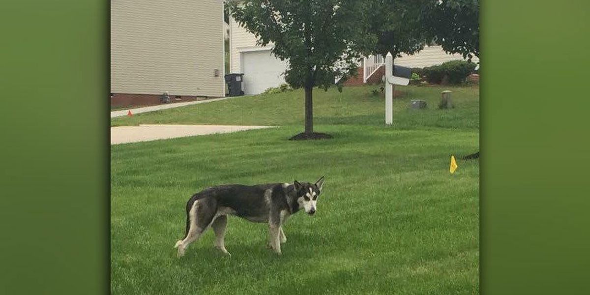 Husky needs to be brought back home after roaming Matoaca area