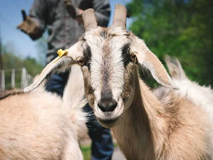 Goats return to University of Richmond to clear unwanted vegetation