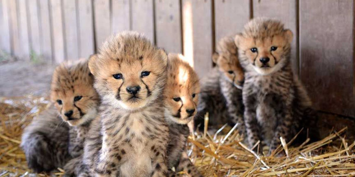 Metro Richmond Zoo welcomes 13 new cheetah cubs