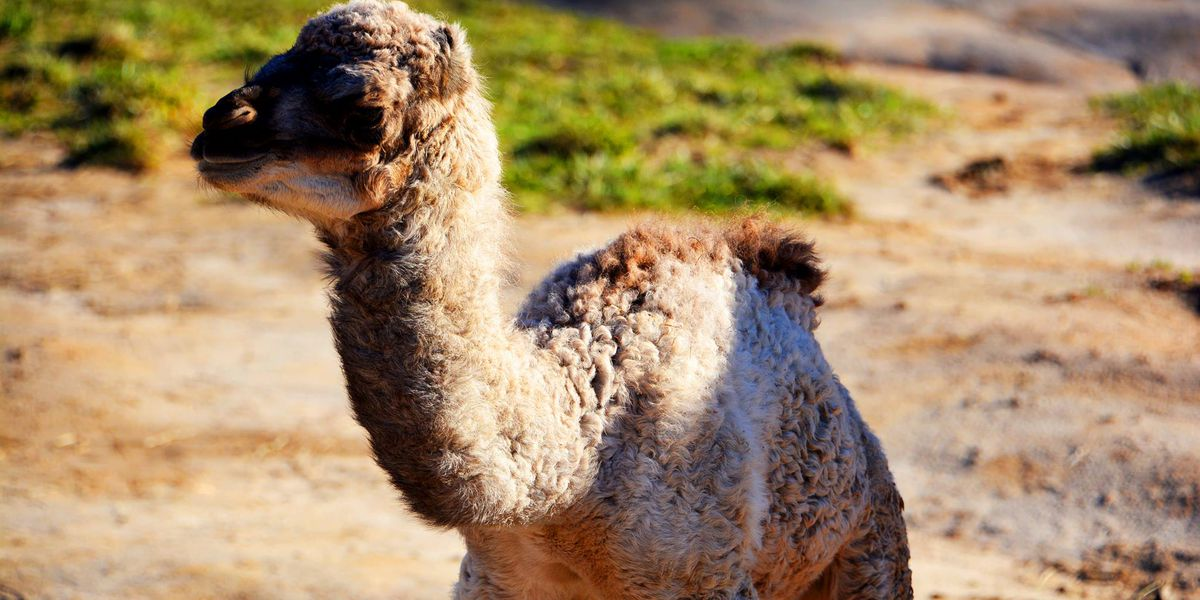 Voters name Richmond zoo's baby camel