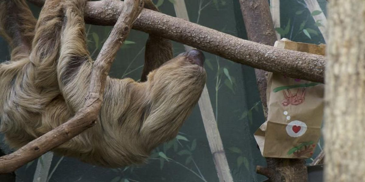 46-year-old two-toed sloth dies at Smithsonian's National Zoo