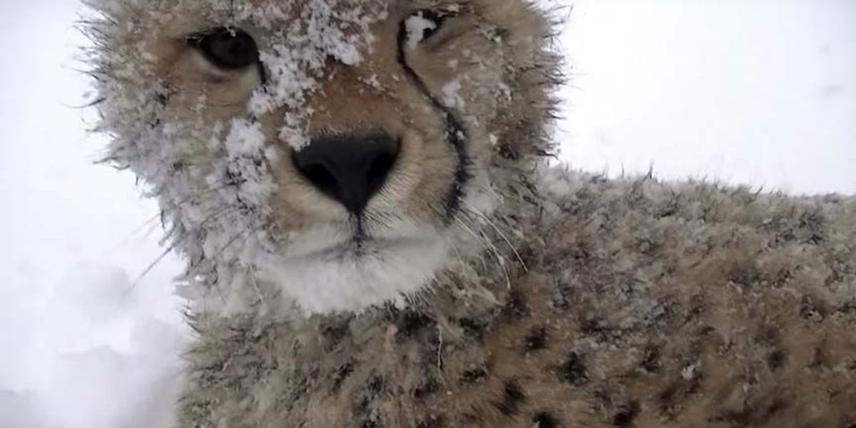 WATCH: Cheetah cub and dog romp in the snow at Metro Richmond Zoo