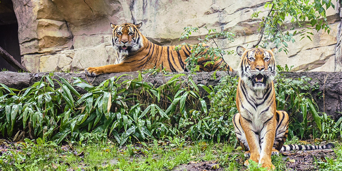 Tigers at Virginia Zoo test positive for COVID-19