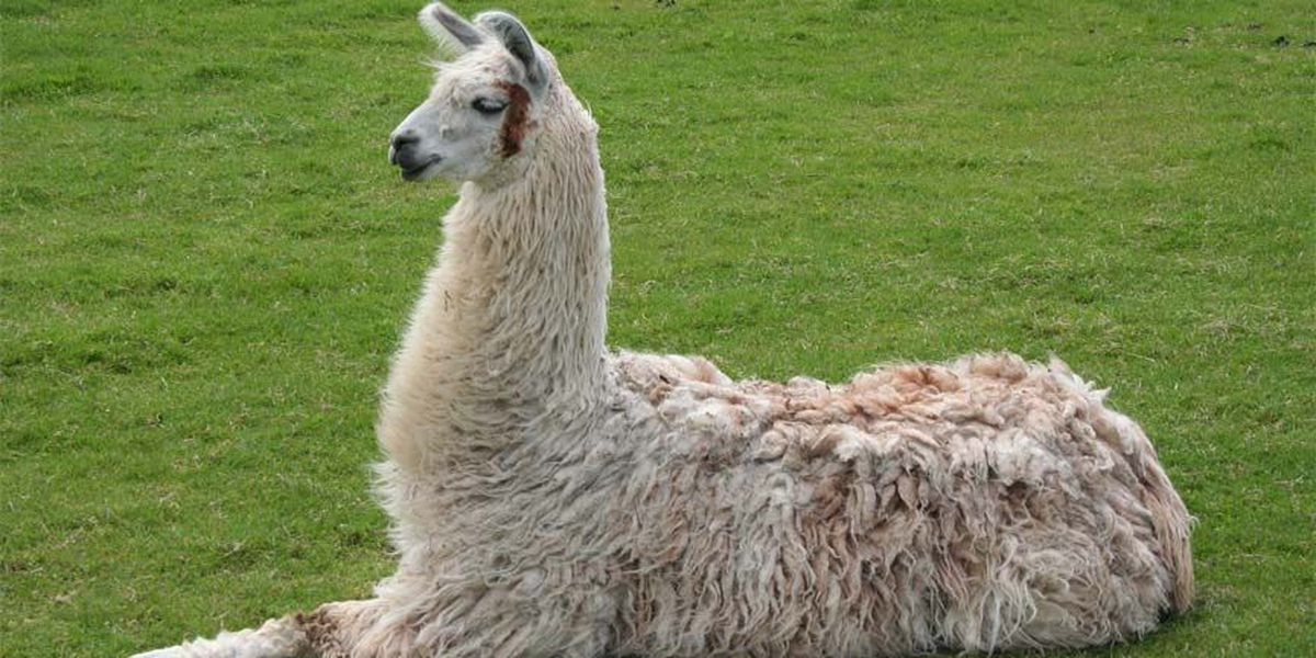 Social drama, but no llamas found after report of Chesterfield sighting