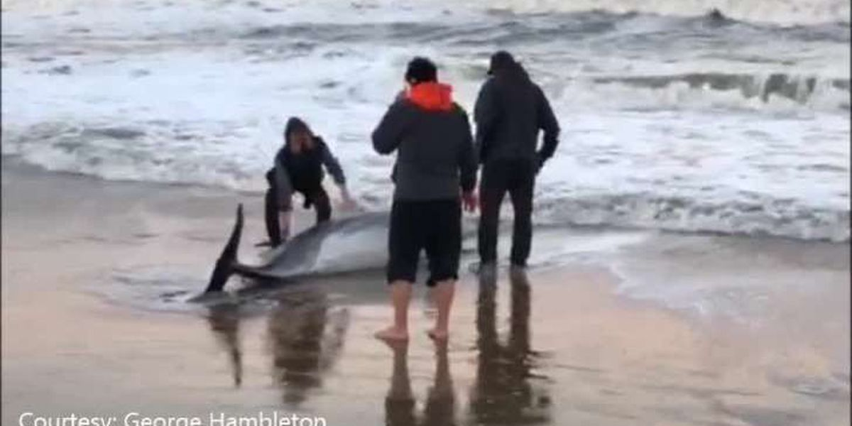 Ill dolphin euthanized after washing ashore in rough seas