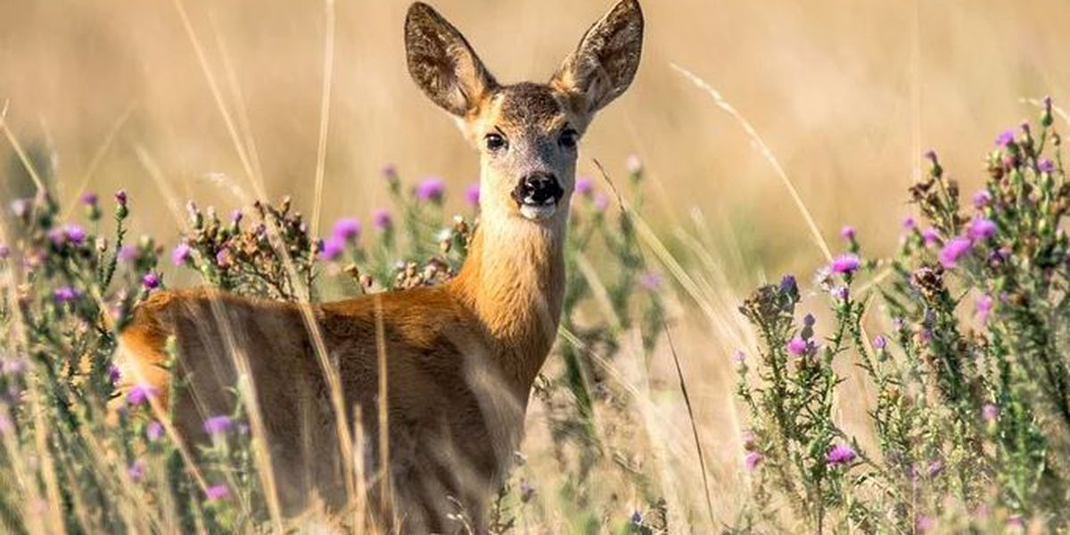 Chronic Wasting Disease found in 21 white-tailed deer in Virginia