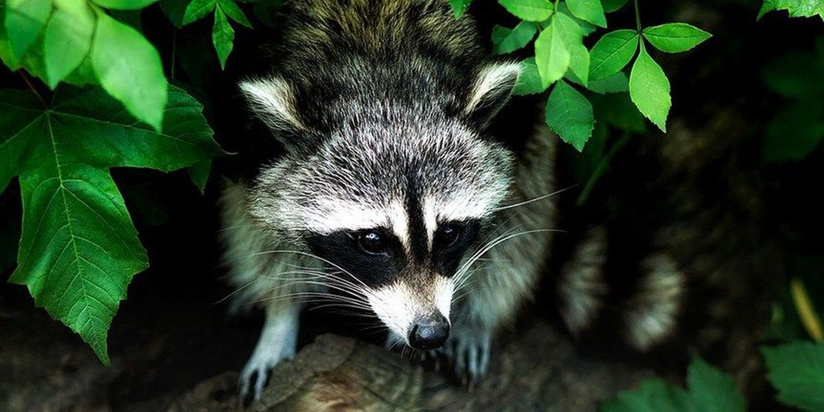 2 raccoons test positive for rabies in Henrico