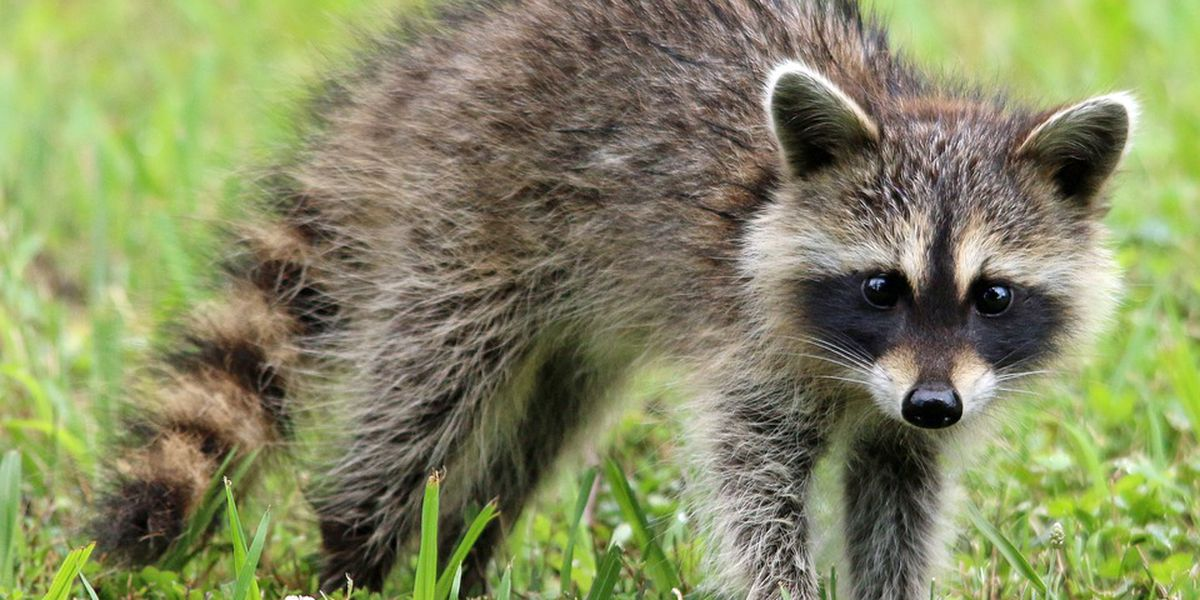 Second confirmed rabies case tested positive in Henrico