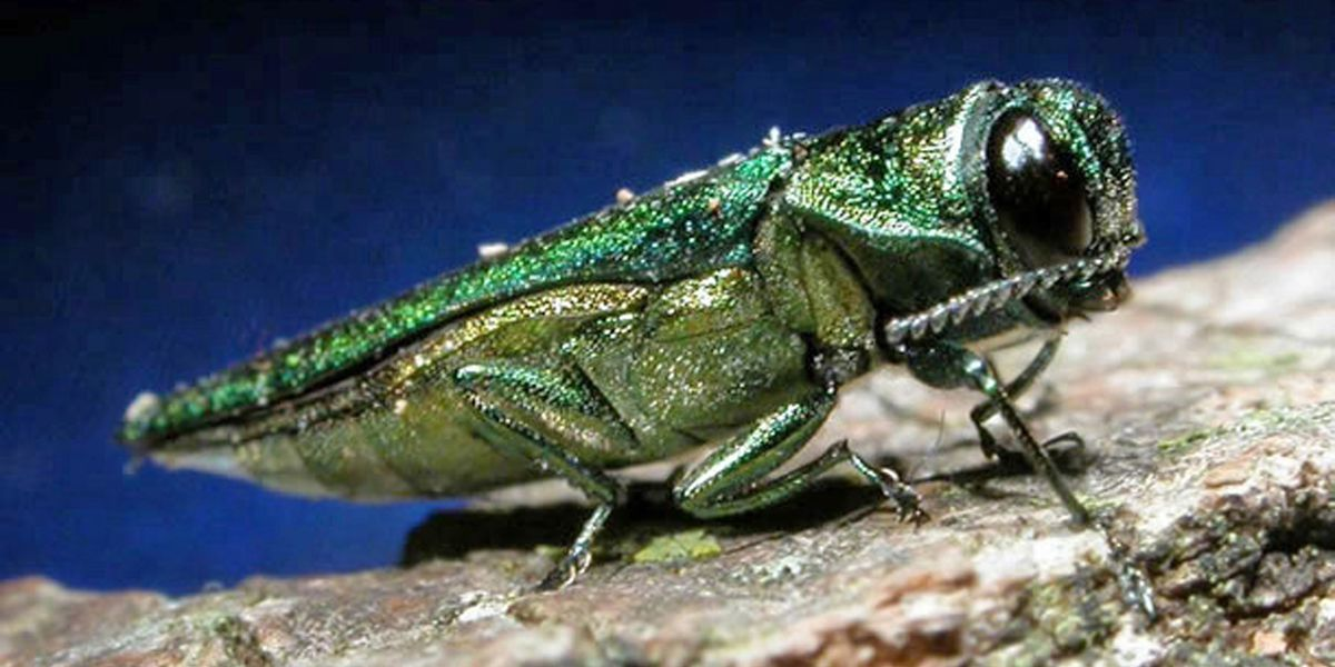 'One of the most destructive forest pests' infests Richmond trees