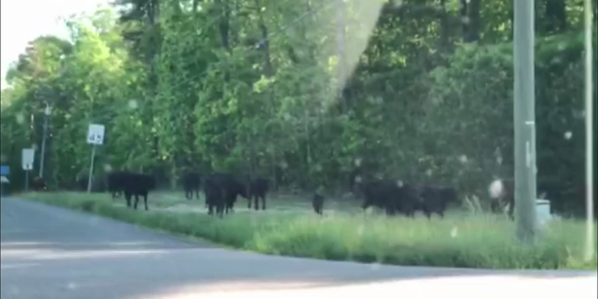 MOOOOOVE OVER: Herd of cows get loose, walk onto road