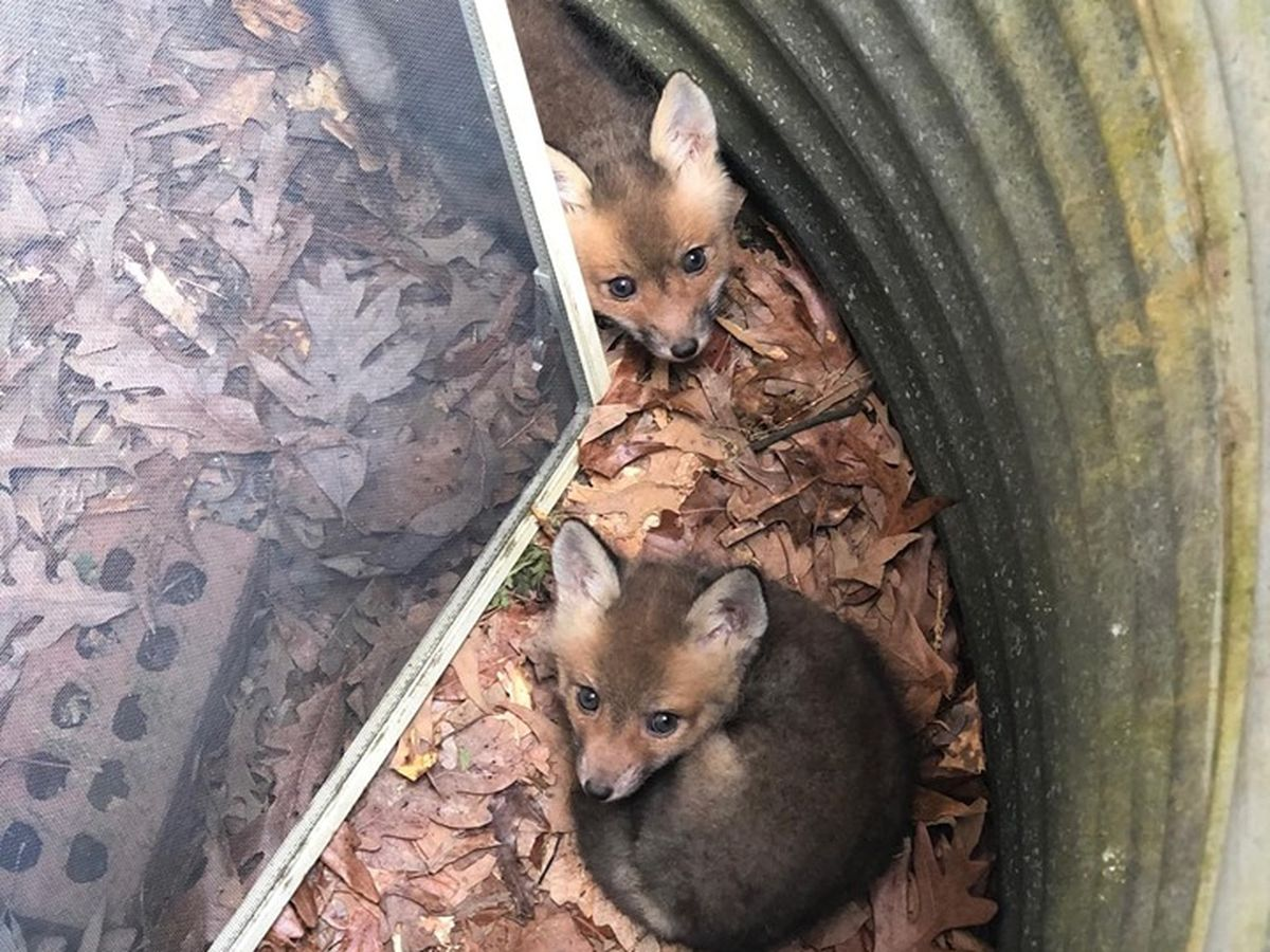 Fox kits rescued after being trapped in well
