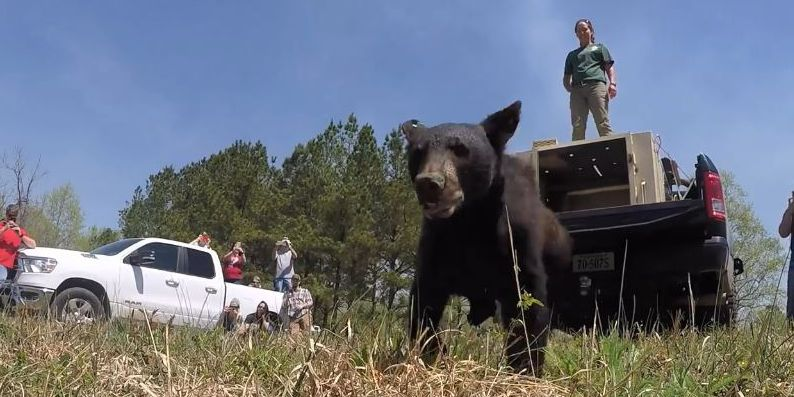 DGIF releases bear cubs back into wild