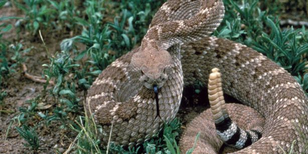 8 rattlesnakes seized from Chesterfield home